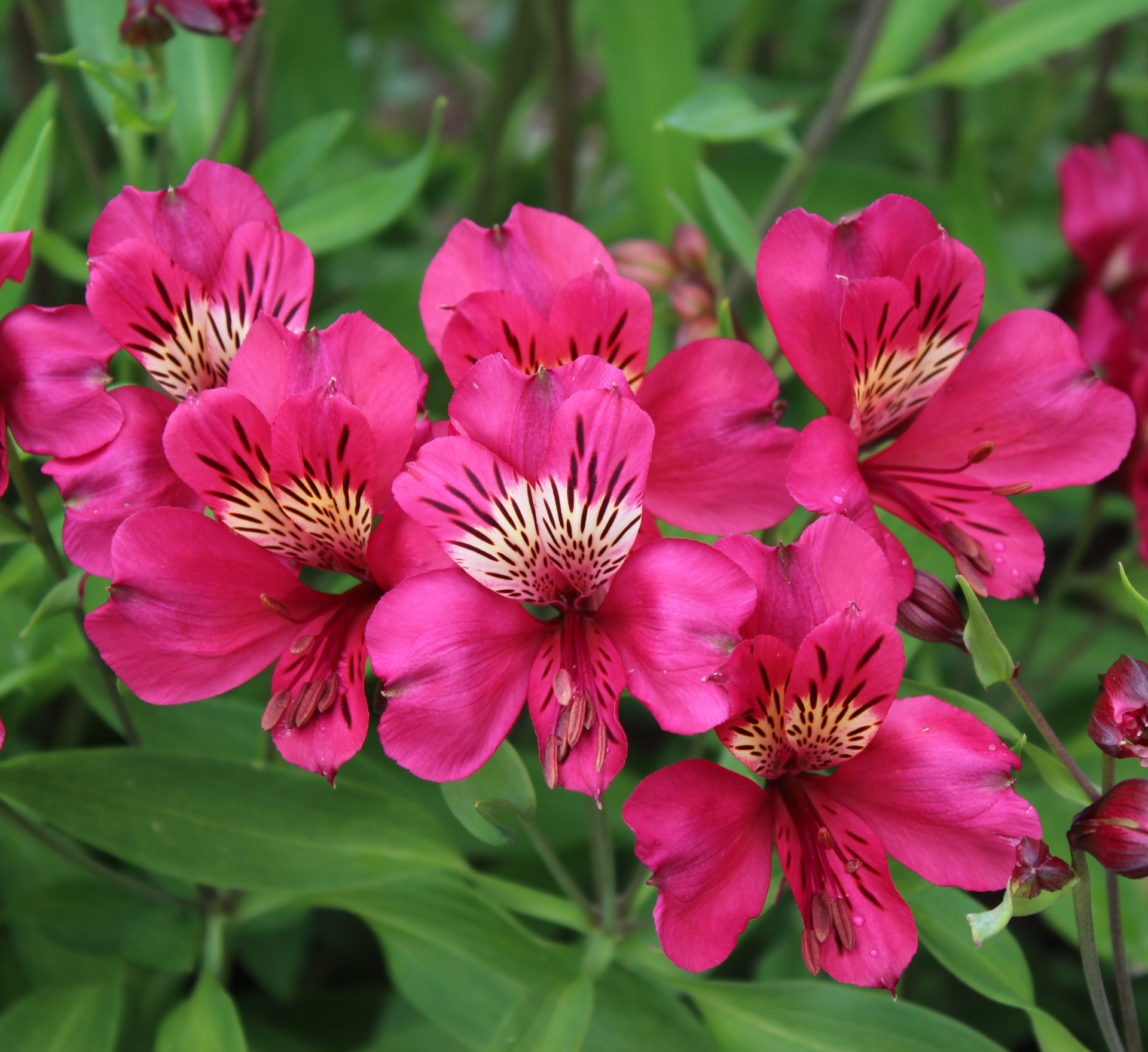 Picture of Alstroemeria 'Purple Rain'