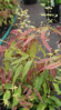 Picture of Epimedium sp. nov. 'Tarantula'