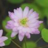 Picture of Anemonella thalictroides 'Kikuzaki Pink'
