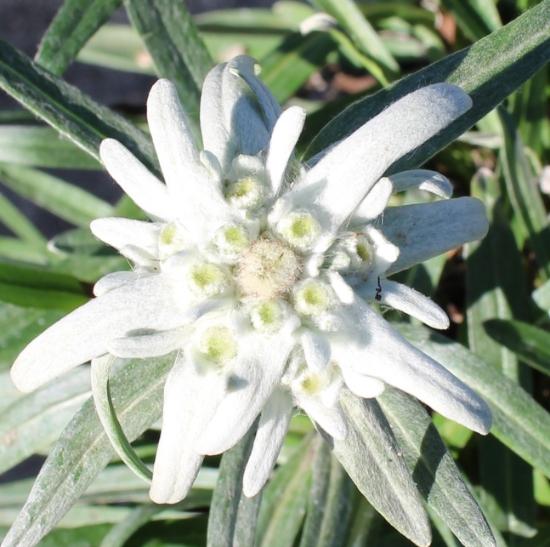 Picture of Leontopodium alpinum 'Mont Blanc'