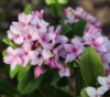 Picture of Daphne x 'Rosy Wave'