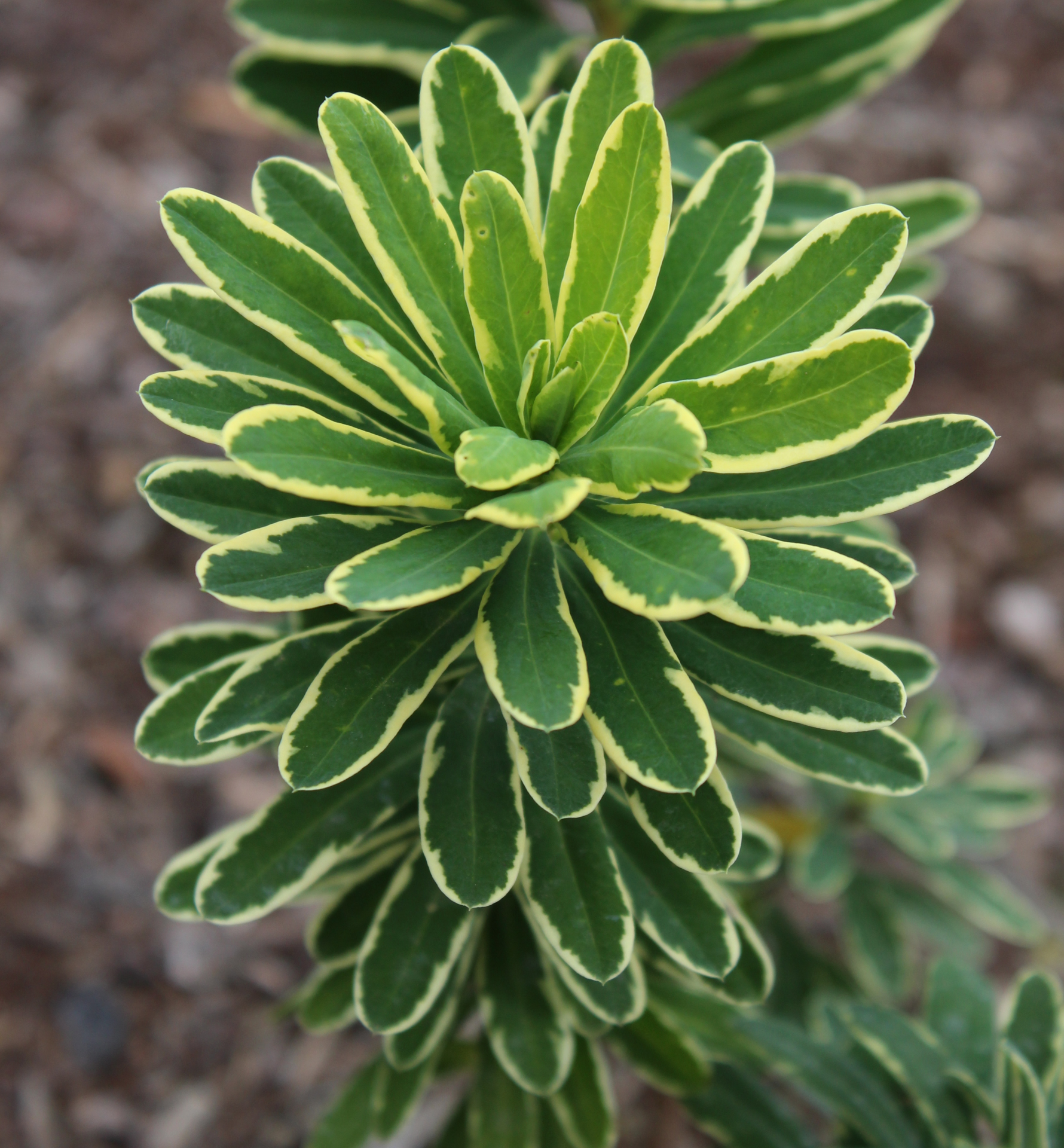 Picture of Daphne x burkwoodii 'Silver Edge'