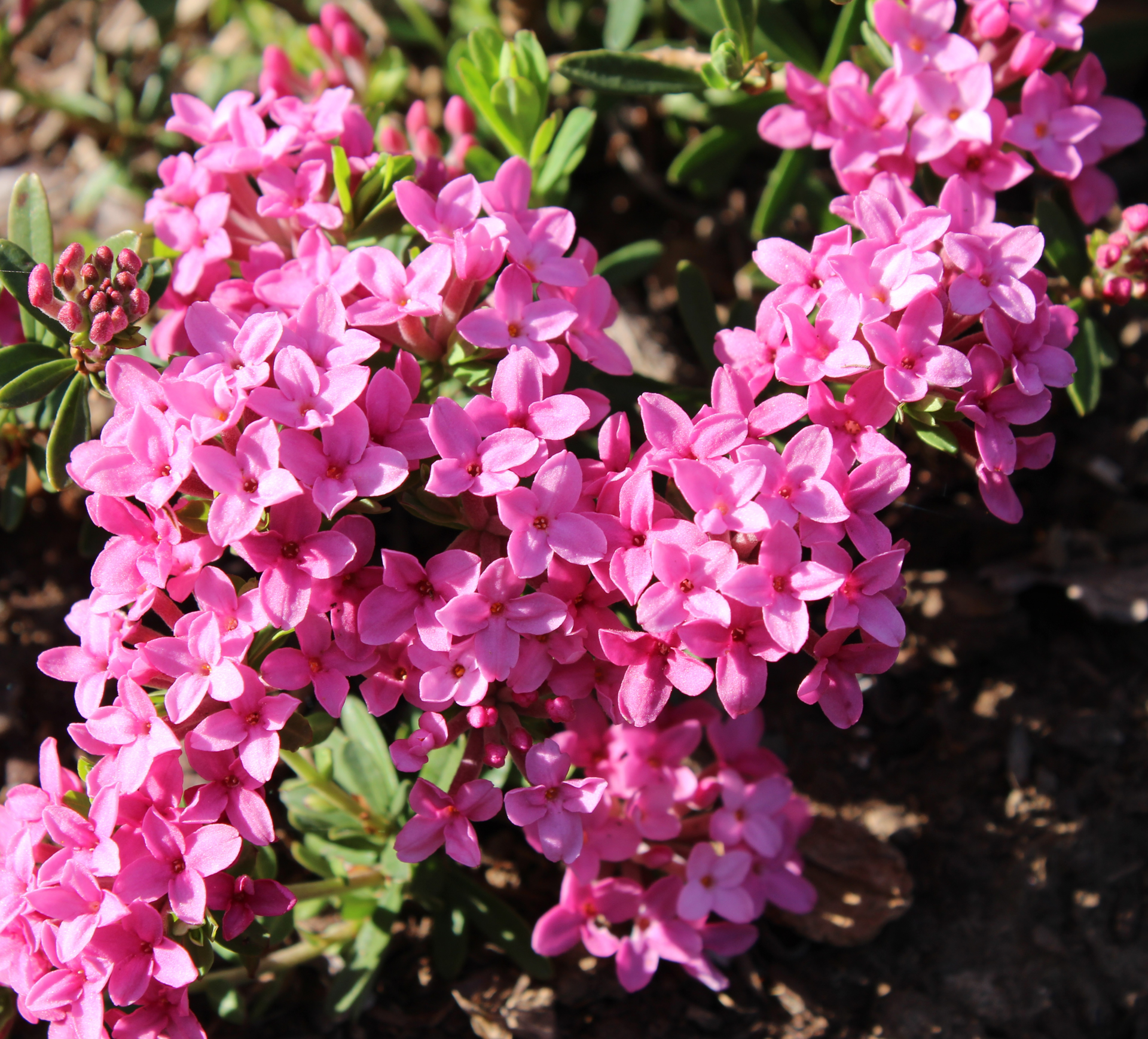 Picture of Daphne juliae