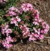 Picture of Daphne cneorum 'Pygmaea'