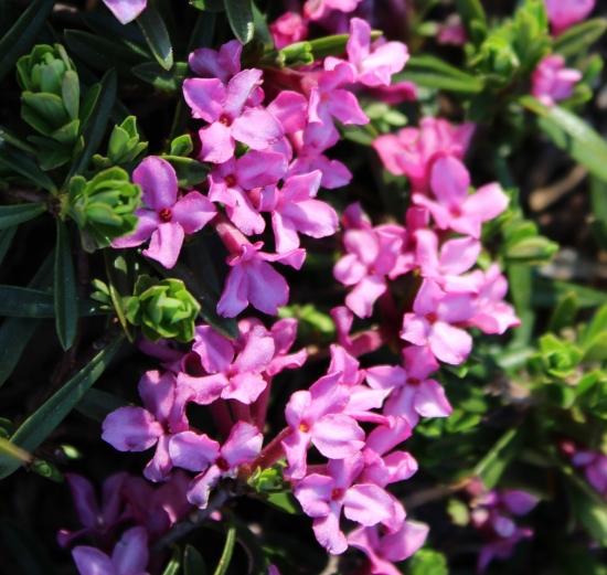 Picture of Daphne cneorum f. verlotii x arbuscula