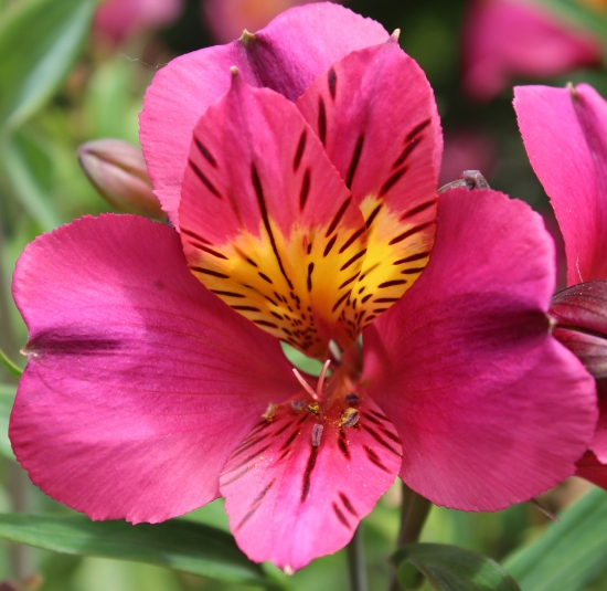 Picture of Alstroemeria 'Adonis'