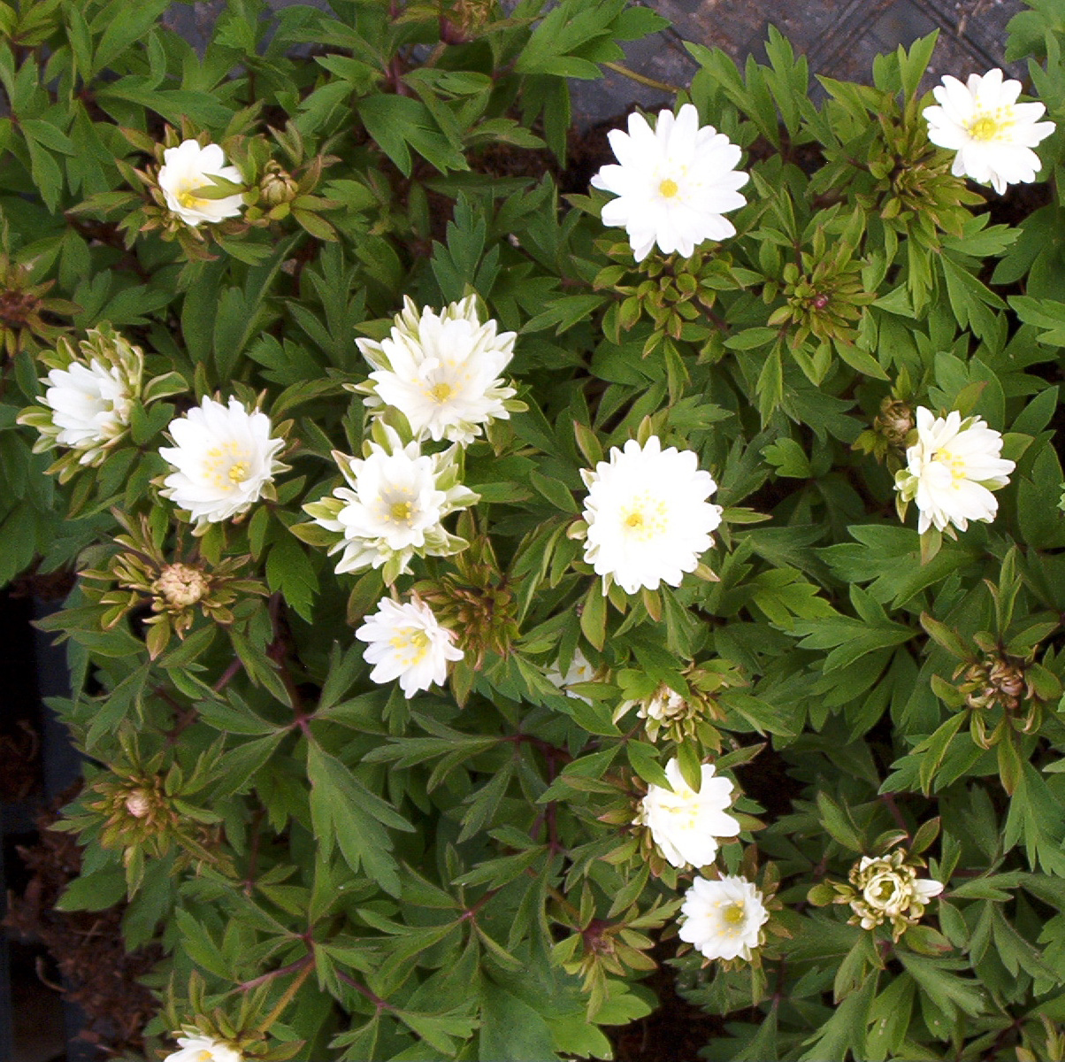 Picture of Anemone nemorosa 'Bracteata Pleniflora'