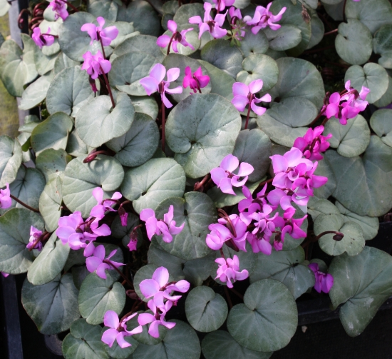 Picture of Cyclamen coum All Pewter Group
