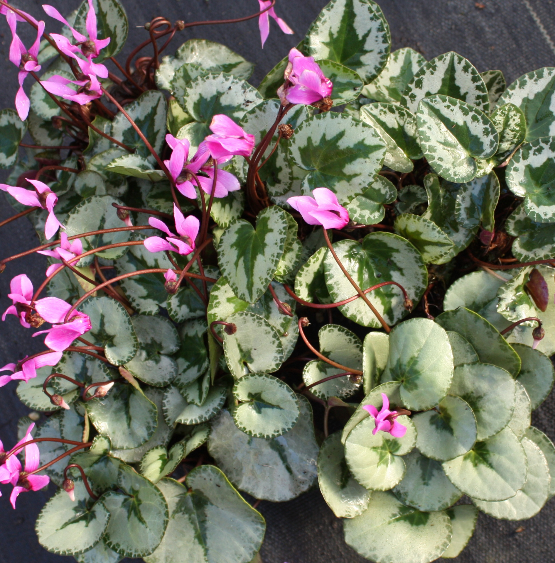 "Picture of Cyclamen purpurascens ""Christmas Tree"""