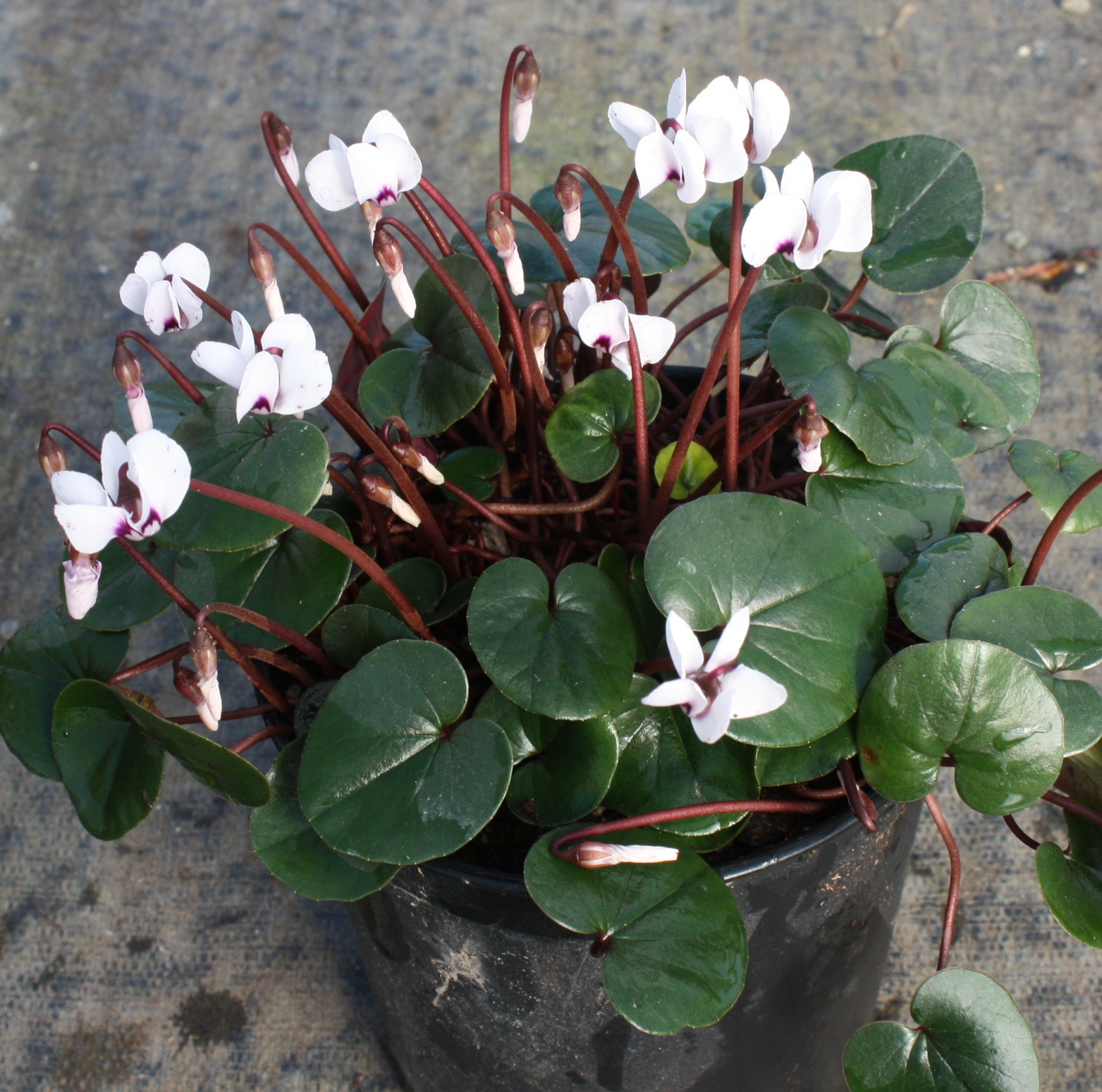 Picture of Cyclamen coum f. albissimum Green Leaf