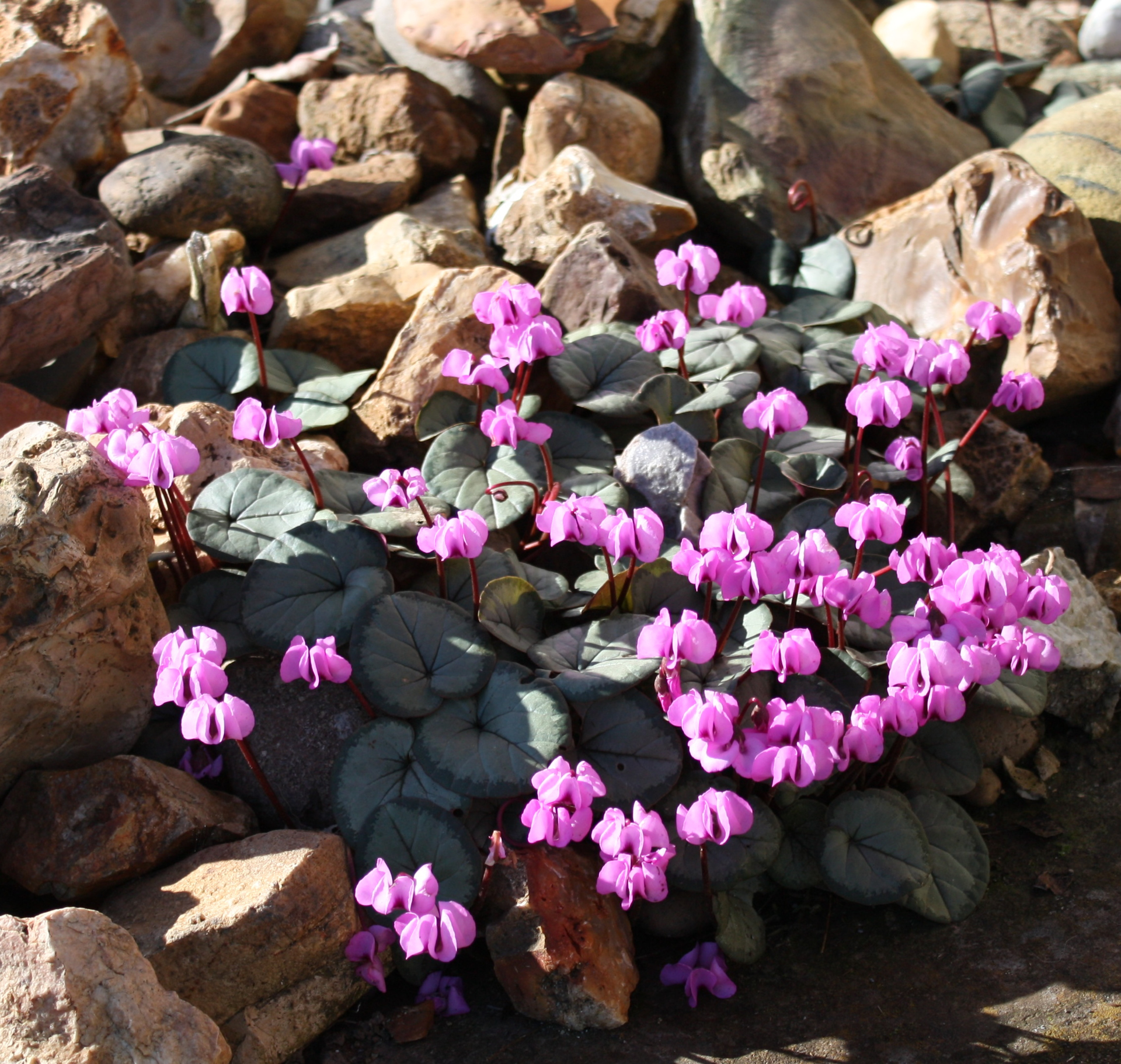 Picture of Cyclamen coum Pewter Group
