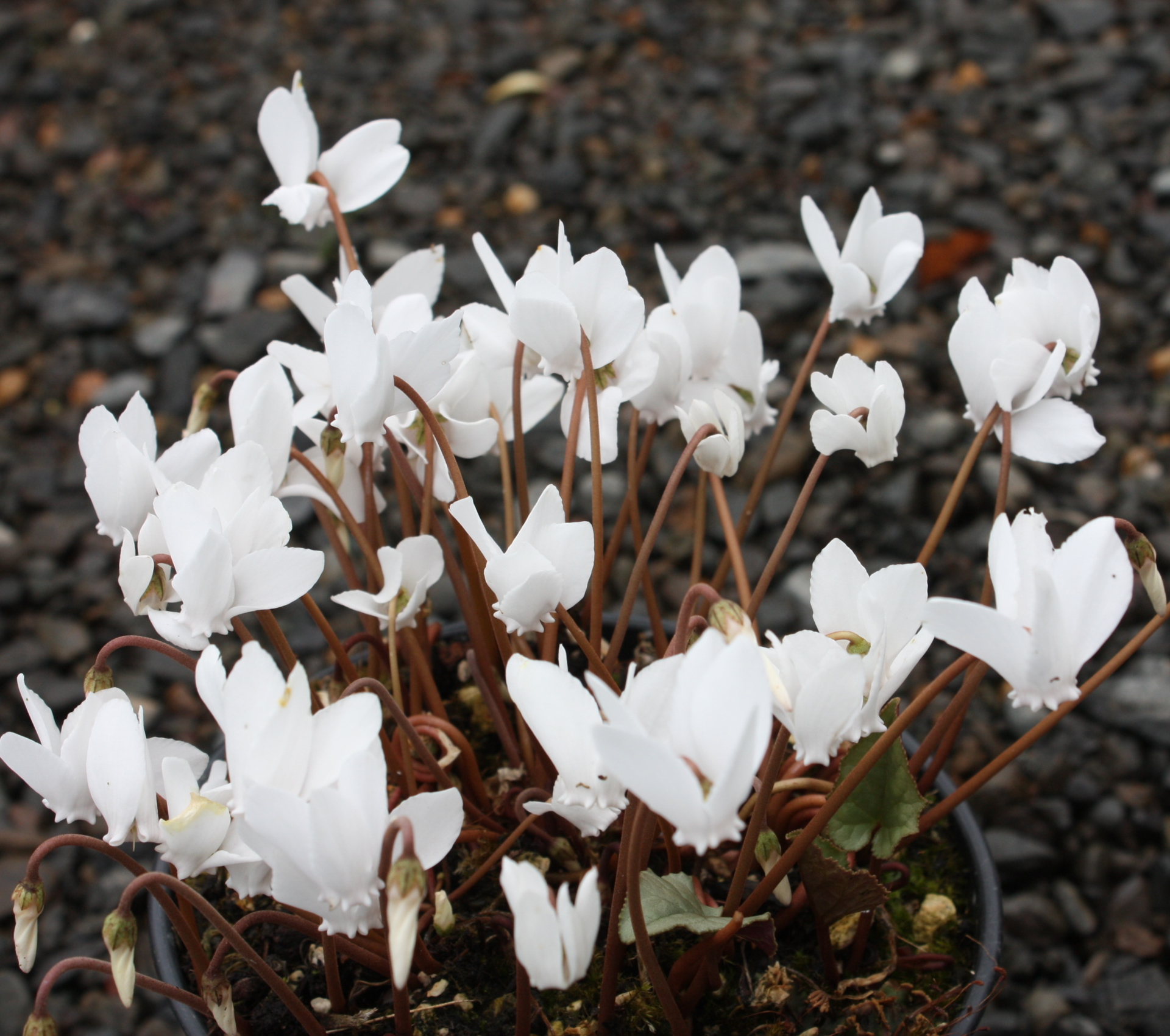 Picture of Cyclamen hederifolium 'Album' Silver Leaf