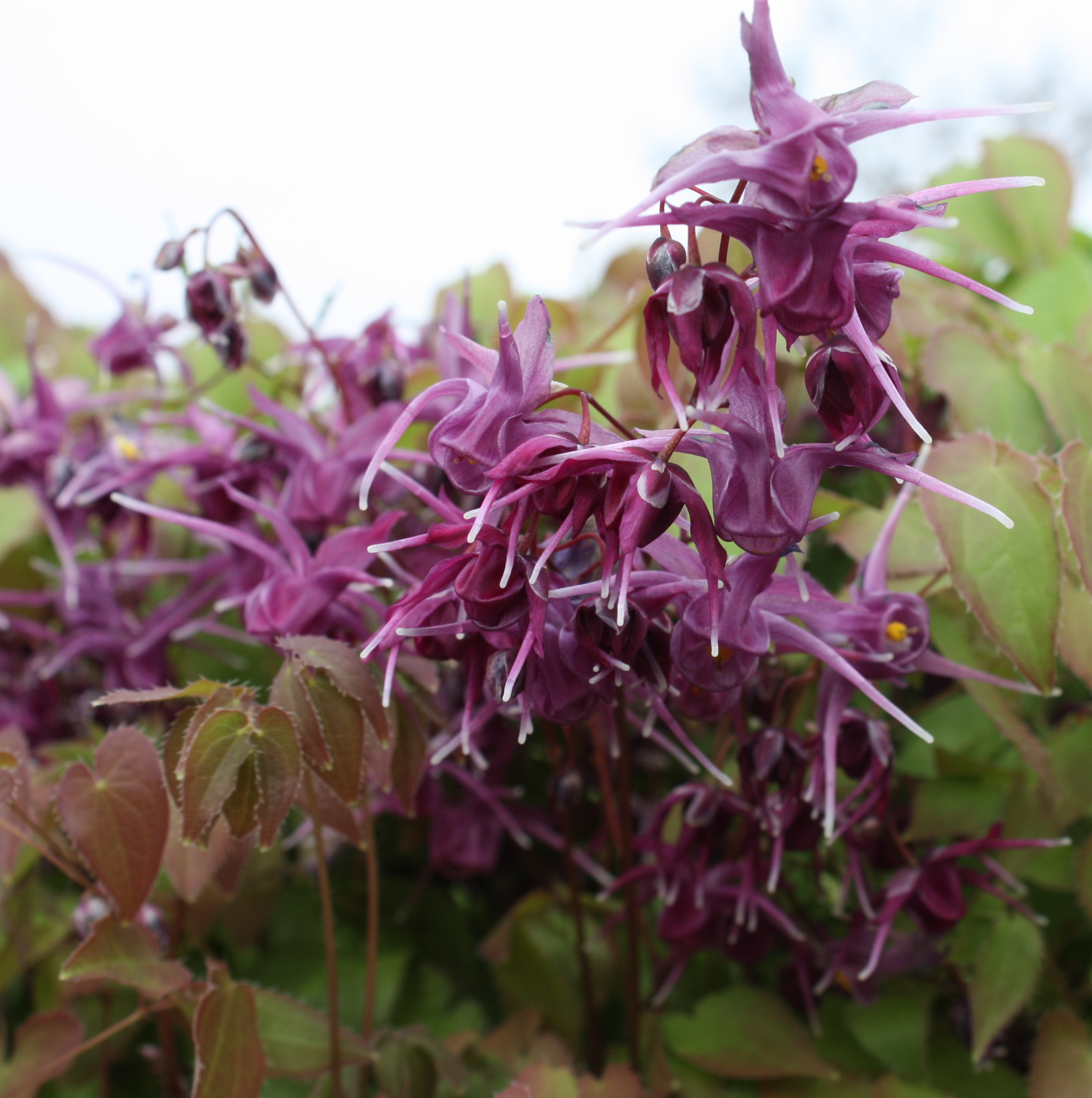 Picture of Epimedium grandiflorum 'Purple Prince'