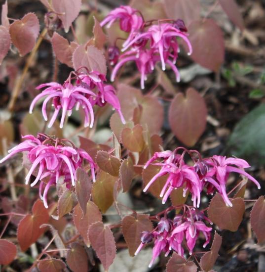 Picture of Epimedium grandiflorum 'Yubae' [Rose Queen]