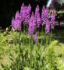 Picture of Dactylorhiza x grandis
