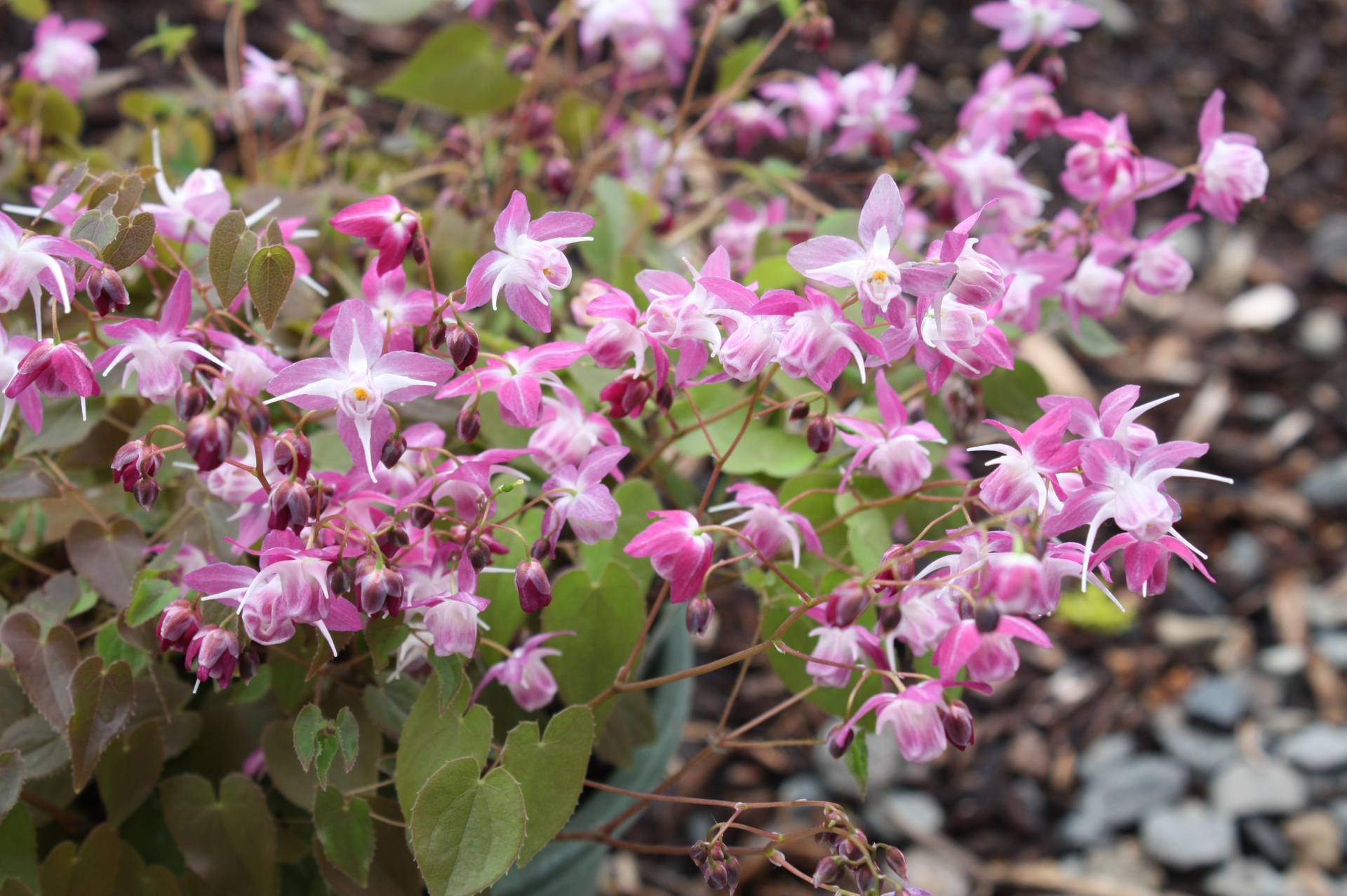 Picture of Epimedium x youngianum 'Be My Valentine'
