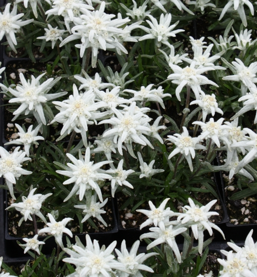 Picture of Leontopodium 'Mt. Everest'