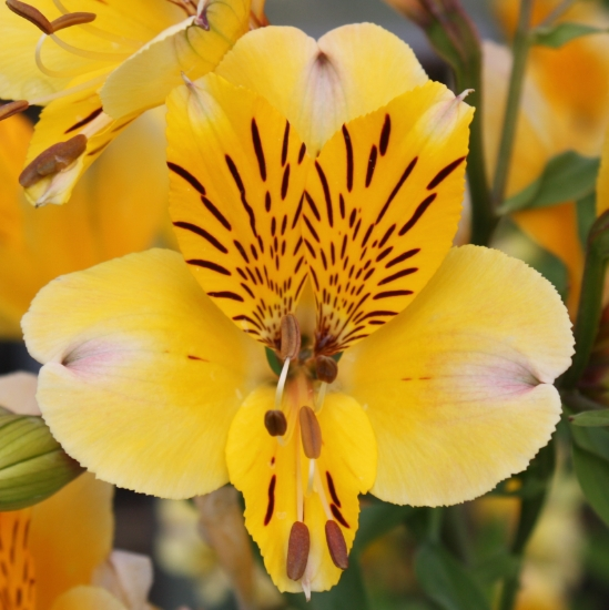 Picture of Alstroemeria 'Yellow Friendship'