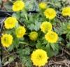 Picture of Ranunculus montanus 'Miss Austria'