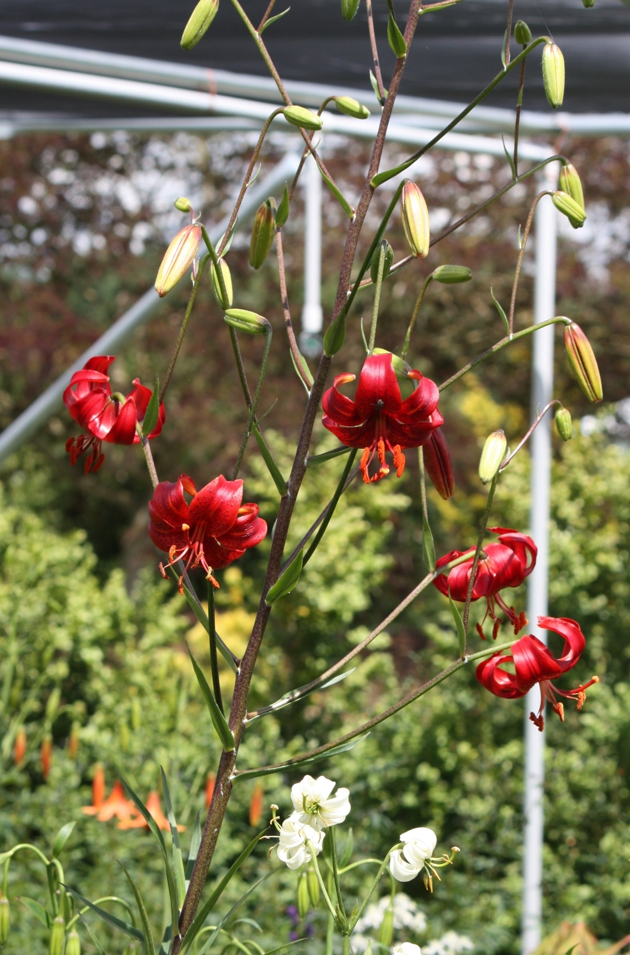 Picture of Lilium davidii 'Berry Red' BR med-lg.