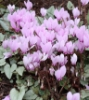 Picture of Cyclamen hederifolium Silver Leafed Group
